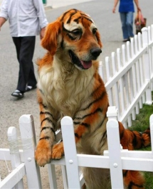 Dog painted to look like a tigre.