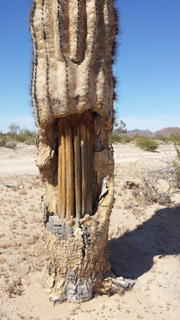 Piles or Stacks, inside support of saguaro