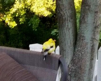 Finch (?)